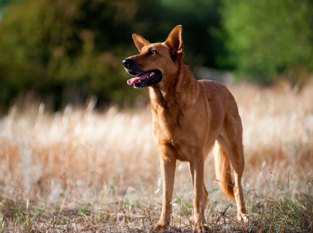 This beautiful GSD mix breed enjoyed PetSpot Pro dog training made easy in Paphos Cyprus