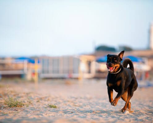 Alma is a young and happy Rottweiler who spent an afternoon with PetSpot posing for pictures and training basic dog obedience training on the beach in Kato Paphos