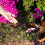 Trainer's tips. Cyprus dog training. Giving a treat to a German shepherd