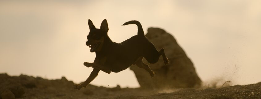 PetSpot Pro Playing Prague Ratter in the sand ander a session with PetSpot dog training made easy